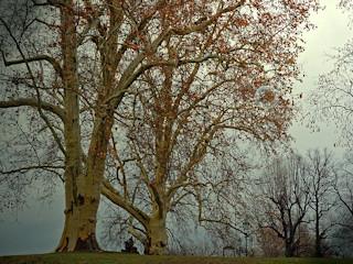 Leksykon drzew i roślin – topola balsamiczna.