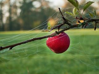 Gala - odmiana jabłka.