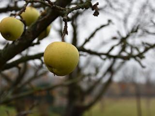 Jonagold - odmiana jabłka.