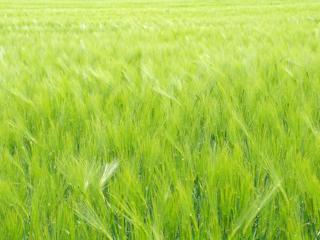 Żywność wolna od GMO.